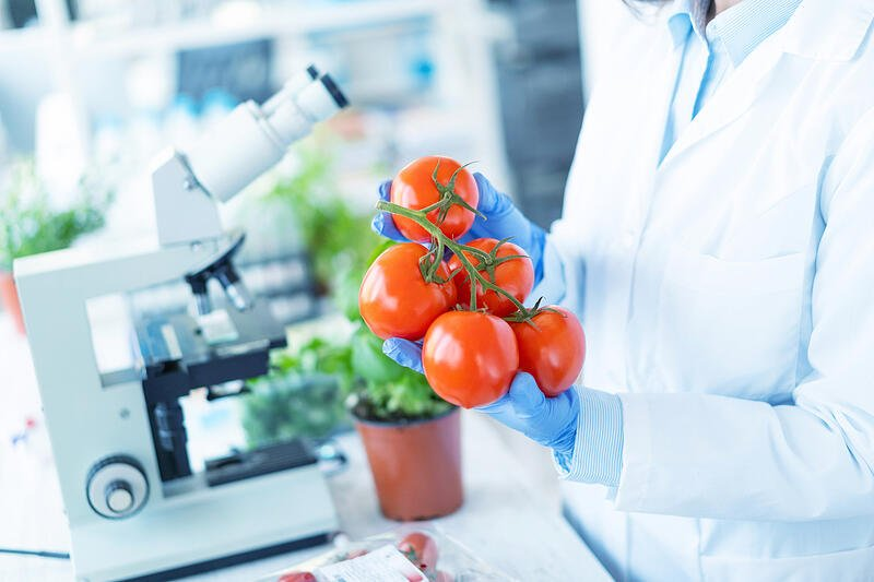 Biologist analyzing tomatoes in laboratory